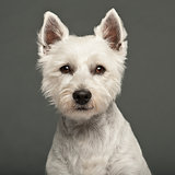 West Highland White Terrier, 2 years old, against white background