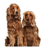 English Cocker Spaniels, 16 months old, sitting against white background