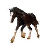 Shire horse foal galloping against white background