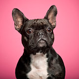 French Bulldog, 3 years old, against pink background