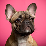 French Bulldog puppy, 5 months old, against pink background