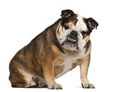 English Bulldog, 6 years old, sitting against white background