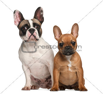 French bulldogs, 2 years old, sitting against white background