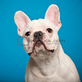 French Bulldog, 7 months old, against blue background