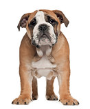 English Bulldog puppy, 2 and a half months old, standing against white background