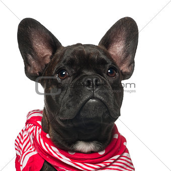French Bulldog puppy, 6 months old, wearing neckerchief against white background