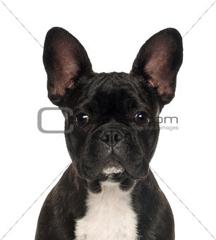 French Bulldog puppy, 6 months old, against white background