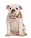 English Bulldog puppy, 4 months old, sitting against white background