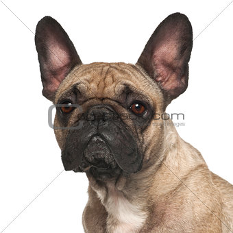 French Bulldog against white background