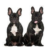 French bulldogs sitting against white background