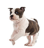 Portrait of American Staffordshire Terrier Puppy running, 6 week