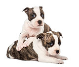 Portrait of American Staffordshire Terrier Puppy lying, 6 weeks