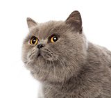 Scottish Fold, 3 years old, against white background