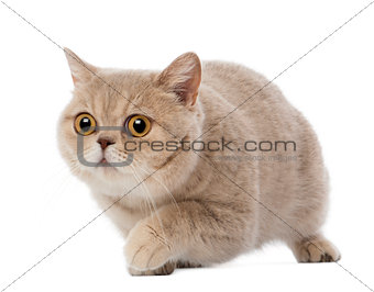British Shorthair walking, 3 years old, against white background