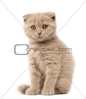 Portrait of Scottish Fold Kitten sitting, 9 weeks old, against white background