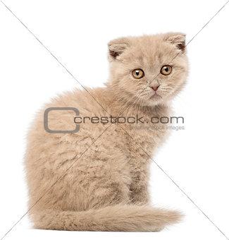 Portrait of Scottish Fold Kitten sitting, 9 weeks old, against white background