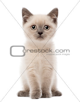 Portrait of British Shorthair Kitten sitting, 10 weeks old, against white background