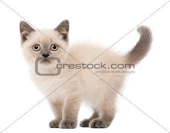 Portrait of British Shorthair Kitten, 10 weeks old, against white background