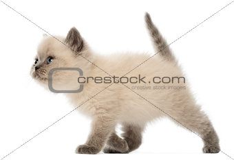 British Shorthair Kitten walking, 9 weeks old, against white background