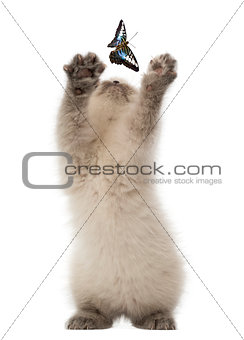 British Shorthair Kitten trying to catch a butterfly against white background
