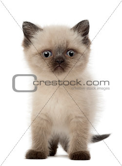 Portrait of British Shorthair Kitten, 5 weeks old, against white background