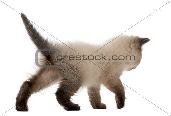 British Shorthair Kitten walking, 5 weeks old, against white background