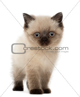 Portrait of British Shorthair Kitten, 5 weeks old, against white background