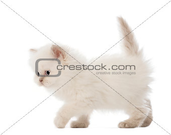British Longhair Kitten walking, 5 weeks old, against white background