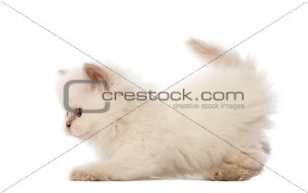 British Longhair Kitten, 5 weeks old, against white background