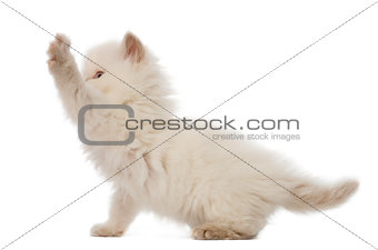 British Longhair Kitten playing, 5 weeks old, against white background