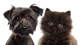 Close-up of British Longhair Kitten, 5 weeks old, and Yorkshire terrier against white background