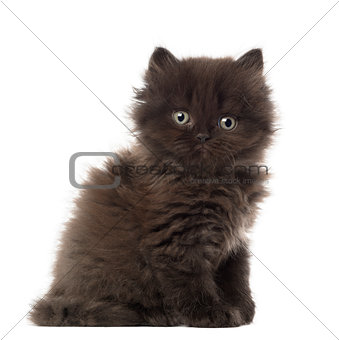 Portrait of British Longhair Kitten sitting, 5 weeks old, against white background