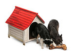 High angle view of Two Border Collies eating a huge bone in front of their kennel against white background