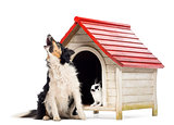 Border Collie sitting and barking next to a kennel with rabbit inside against white background
