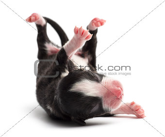 Australian Shepherd puppy, 1 day old, rolling over against white background