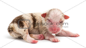 Australian Shepherd puppy, 1 day old, lying against white background