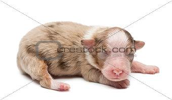 Australian Shepherd puppy, 7 days old, lying against white background