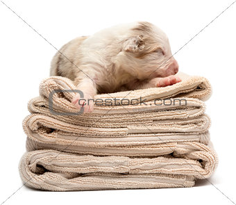 Australian Shepherd puppy sleeping on a pile of towels, 12 days old against white background