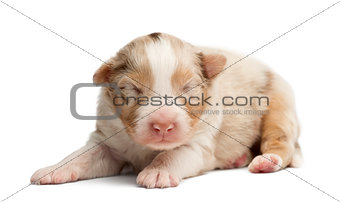 Australian Shepherd puppy sleeping, 12 days old against white background