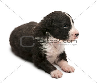 Australian Shepherd puppy, 16 days old, lying against white background