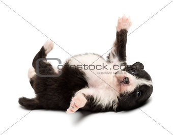 Australian Shepherd puppy, 18 days old, lying on its back agains