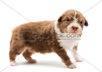 Australian Shepherd puppy, 22 days old, standing with an angry look against white background
