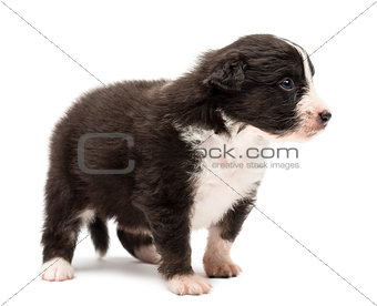 Australian Shepherd puppy, 24 days old, standing and looking right against white background