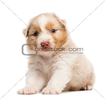 Australian Shepherd puppy, 30 days old, sitting and portrait against white background