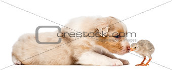Australian Shepherd puppy, 30 days old, lying and sniffing at chick against white background