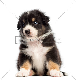 Australian Shepherd puppy, 1 months and 3 days old, sitting and looking away against white background