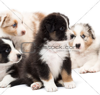 Australian Shepherd puppies, 6 weeks old, sitting and playing around their sisters and brothers against white background