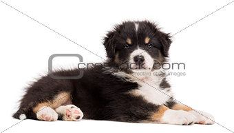 Australian Shepherd puppy lying and portrait against white background