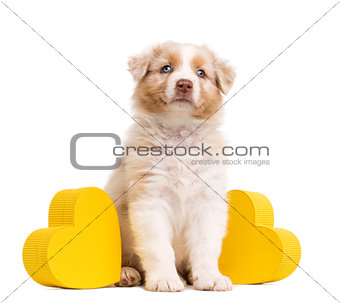 Australian Shepherd puppy sitting between two yellow hearts and gift, present against white background