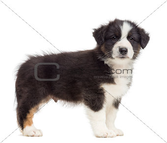 Australian Shepherd puppy, 8 weeks old, standing against white background